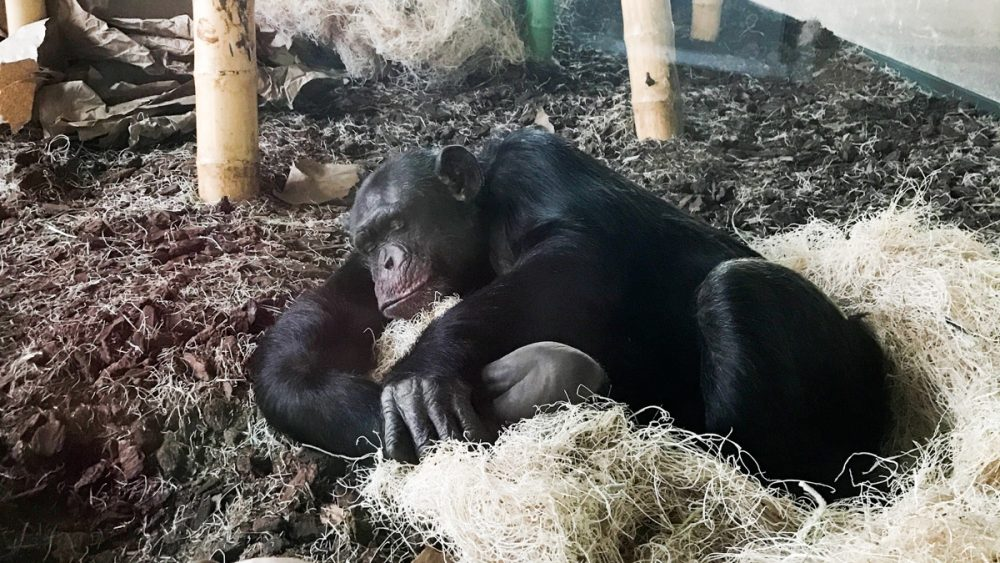 A sleeping chimp at the Lincoln Park Zoo in Chicago. (Photo courtesy of Lydia Hopper, Assistant Director, Lester E. Fisher Center for the Study and Conservation of Apes)