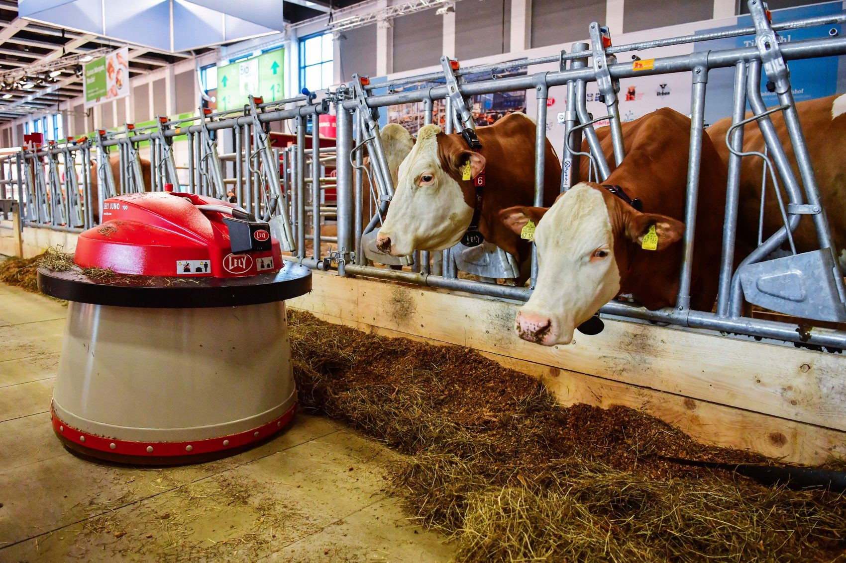 "A robot automatically sweeps food toward two dairy cows at an ""automated farm"" exhibit at the International Green Week food and agriculture fair in Berlin on Jan. 19, 2017. (John MacDougall/AFP/Getty Images)"
