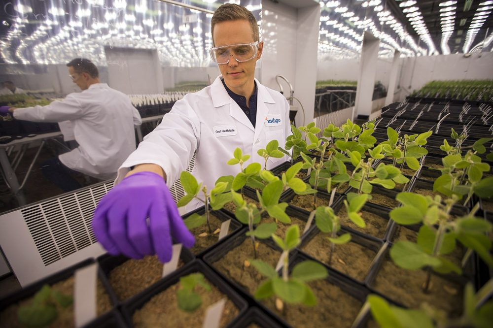 Indigo Agriculture's goal is simple, albeit lofty: to help farmers sustainably feed the planet. To do that, it's working on creating drought-resistant seeds coated with tiny microbes. Here, Geoff von Maltzahn, the co-founder of Indigo, checks on the plants in the company's grow room at its Charlestown headquarters. (Jesse Costa/WBUR)