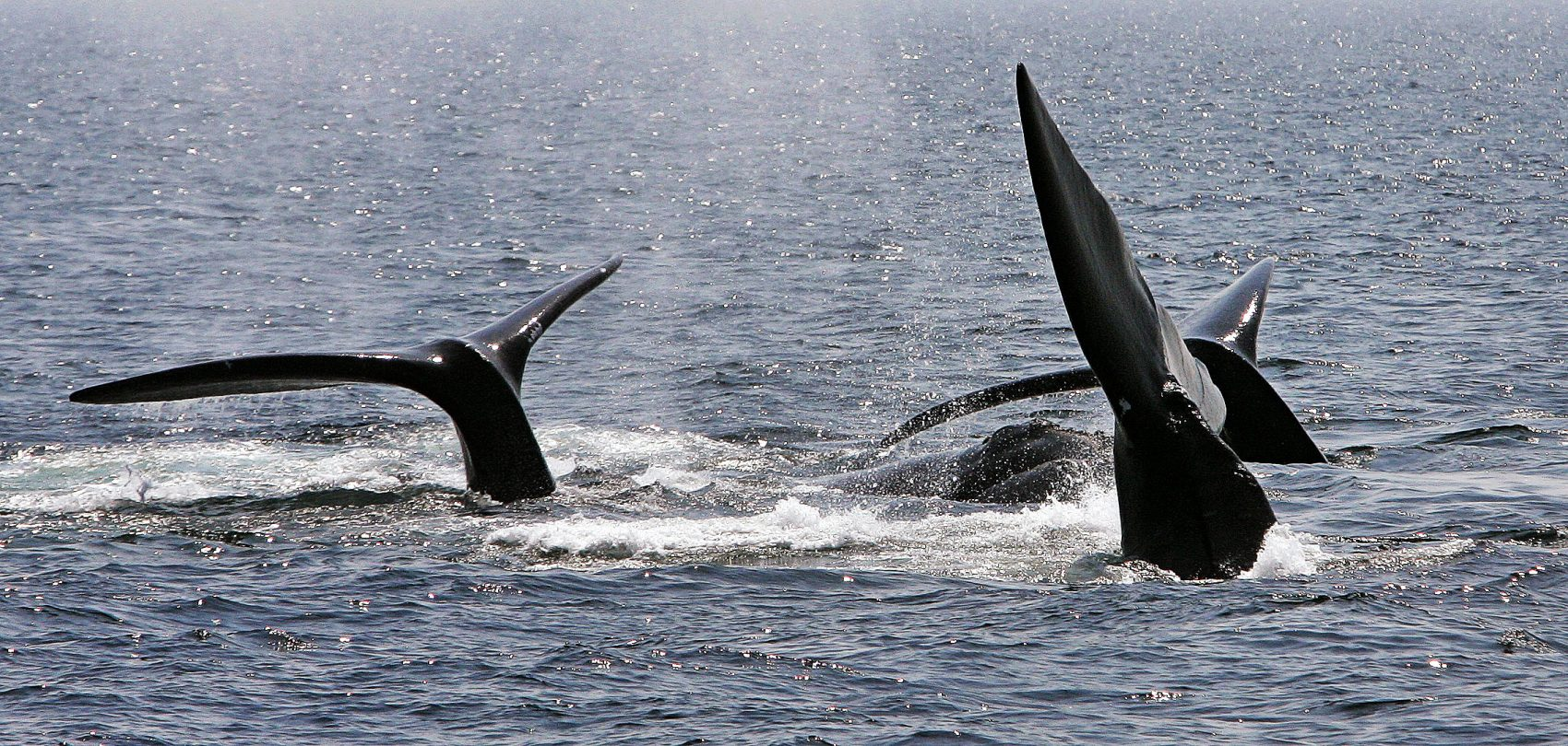 A ballet of three North Atlantic right whale tails break the surface off Provincetown, Mass., in Cape Cod Bay in 2008. (Stephan Savoia/AP)