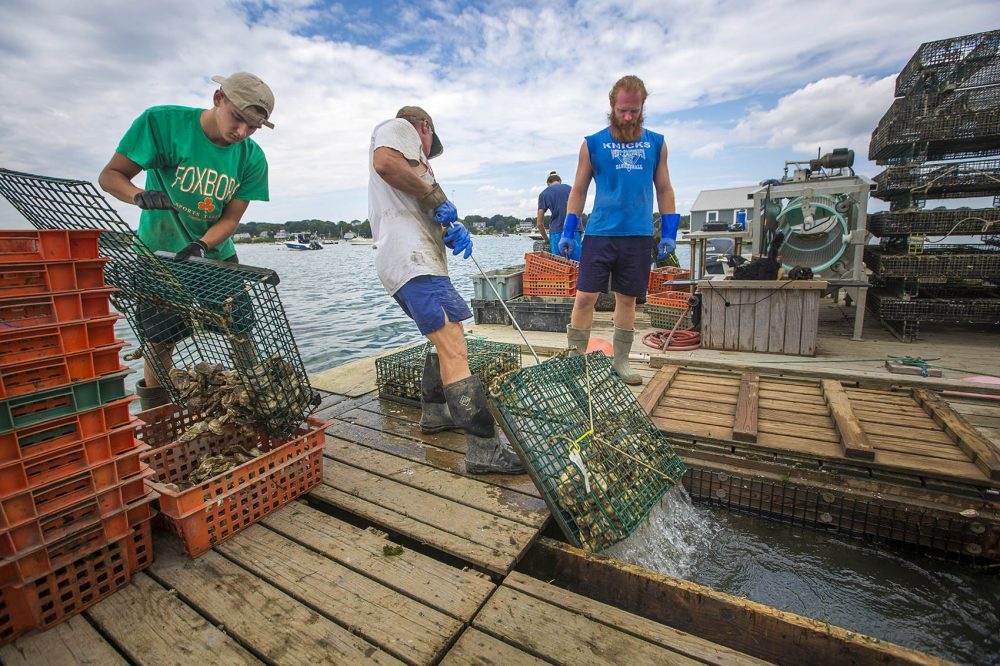 In Duxbury, James Kearns, center, pulls a cage of oysters from beneath the float, exposing them to air, to begin the race to crate, count, bag and ice the oysters in the one hour time limit they are allowed before shipping to the Pangea wholesale facility in Boston. (Jesse Costa/WBUR)