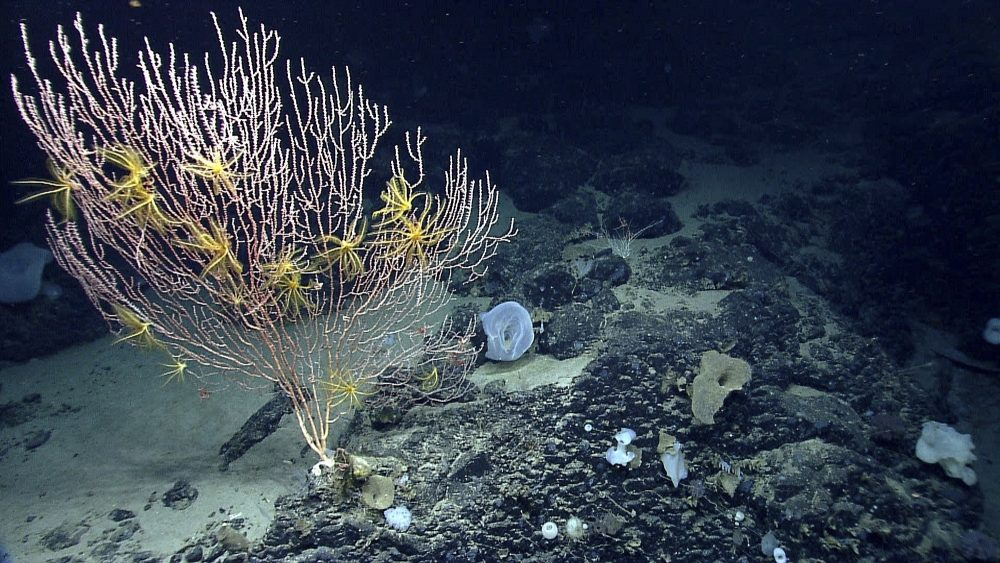 This undated file photo released by the National Oceanic and Atmospheric Administration made during the Northeast U.S. Canyons Expedition 2013 shows corals on Mytilus Seamount off the coast of New England in the North Atlantic Ocean. (NOAA Office of Ocean Exploration and Research via AP, File)