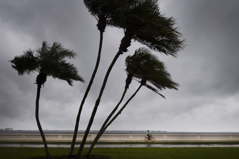 A man rides his bike on Bayshore Boulevard as palm trees begin to feel the wind in Tampa, Fla., on Sept. 10, 2017. (Jim Watson/AFP/Getty Images)