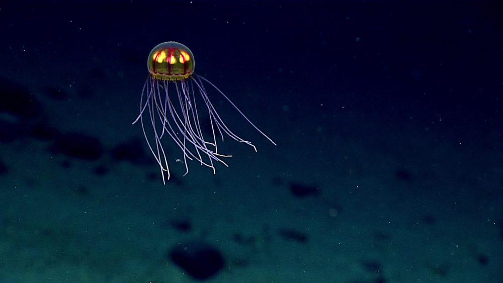 This April 24, 2016 image made available by NOAA shows a bioluminescent jellyfish during a deepwater exploration of the Marianas Trench Marine National Monument area in the Pacific Ocean near Guam and Saipan. Dives in the expedition ranged from 250 to 6,000 meters (820 feet to 3.7 miles) deep. (NOAA Office of Ocean Exploration and Research via AP)