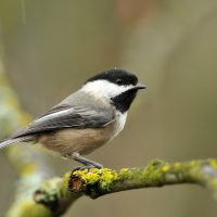 A black-capped chickadee/ (Minette Layne/Wikimedia Commons)