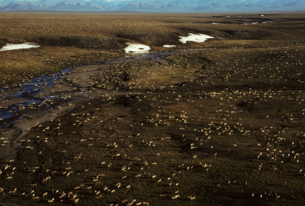 This undated aerial photo provided by U.S. Fish and Wildlife Service shows a herd of caribou on the Arctic National Wildlife Refuge in northeast Alaska. President Trump's proposed budget calls for opening the coastal plain of the Arctic National Wildlife Refuge to oil and gas drilling. (U.S. Fish and Wildlife Service via AP)