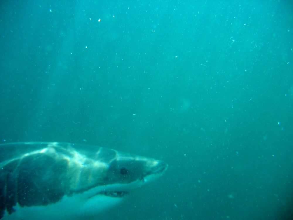 Massachusetts researchers say white sharks appear to venture offshore farther and at greater depths than previously known in the Atlantic. (Manoel Lemos/Flickr)