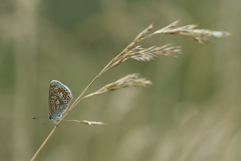 An Adonis blue butterfly rests in the long grass in Ladywell Park on July 21, 2014 in London. (Dan Kitwood/Getty Images)