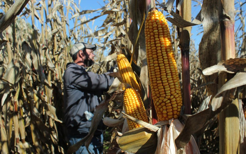 """Eric Thalken works down a row of organic corn, pulling back the husks. """"There's a mindset that organic is ugly and low yielding and it just doesn't have to be,"""" Thalken says. (Grant Gerlock/Harvest Public Media)"""