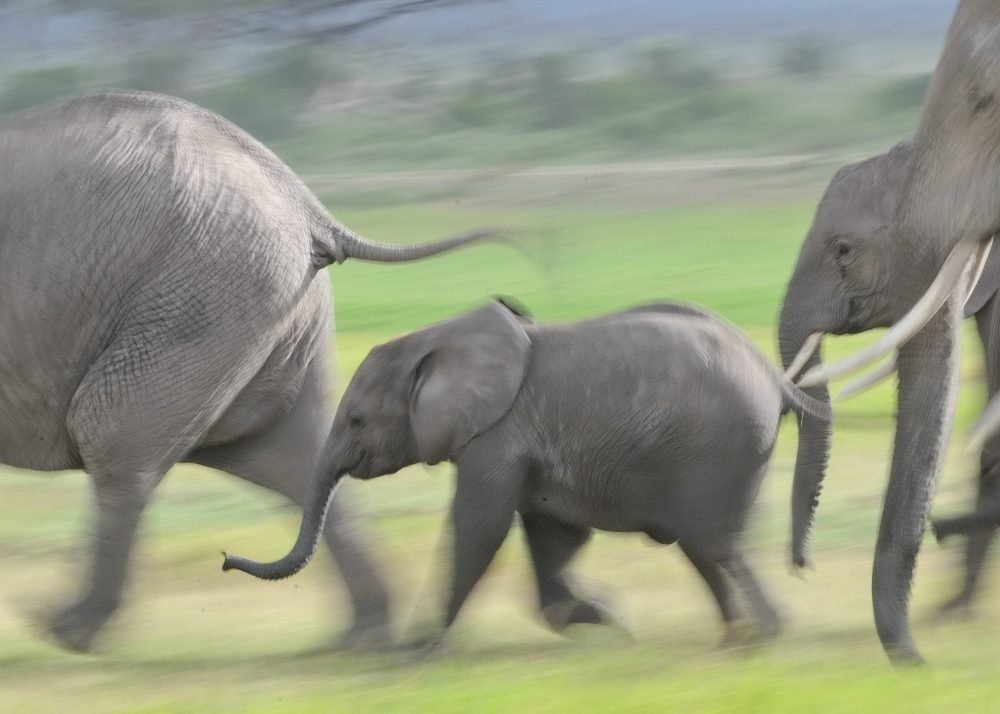 Elephants hurry in Kenya's Amboseli National Park. Elephants live in tightly bonded family groups within large networks of dozens of families who recognize one another individually. (Courtesy, Carl Safina)