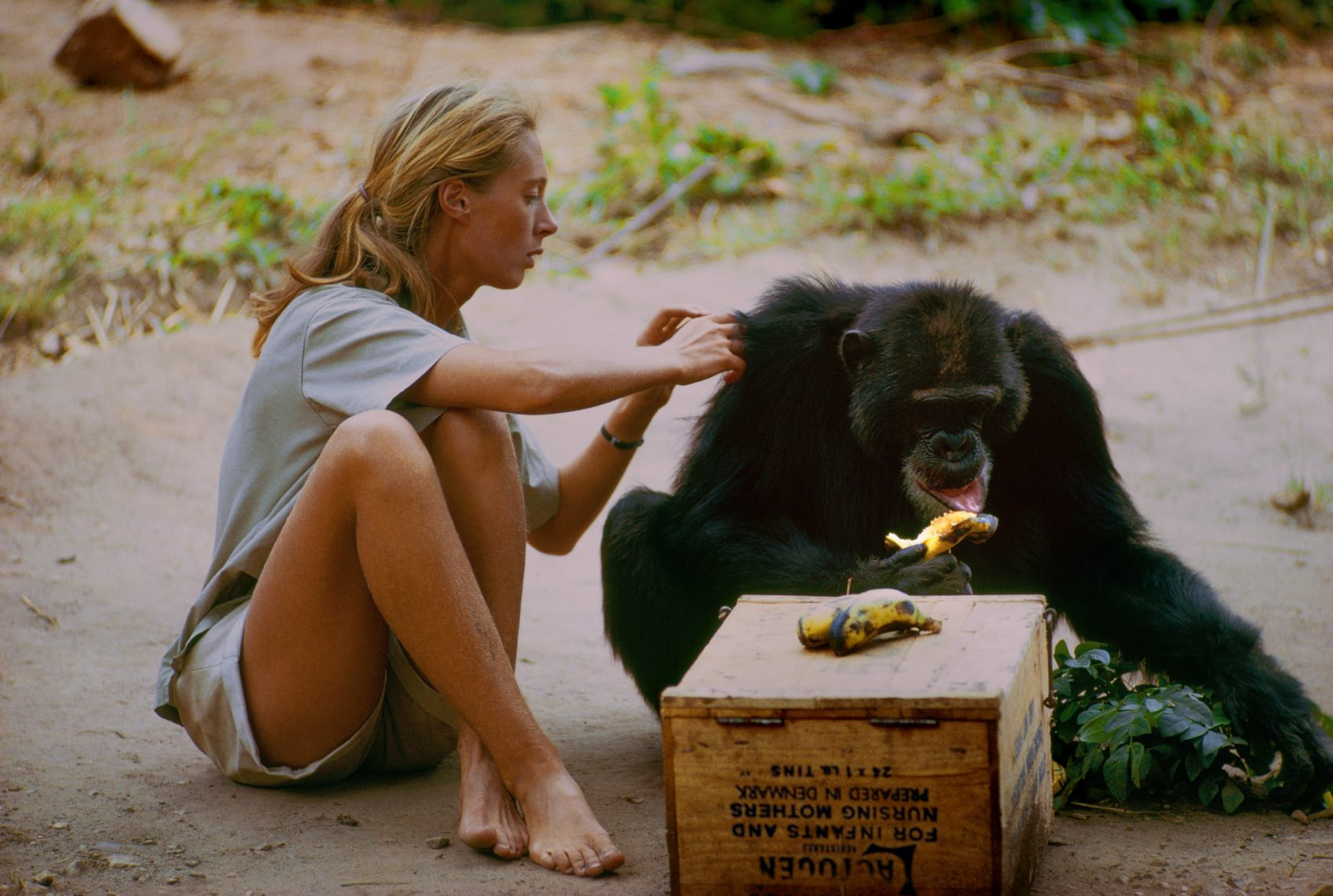 Jane Goodall pictured with the chimp named David Greybeard, who was the first chimp to lose his fear of her, eventually coming to her camp to steal bananas and allowing Jane to touch and groom him. (Courtesy Hugo van Lawick/National Geographic Creative)
