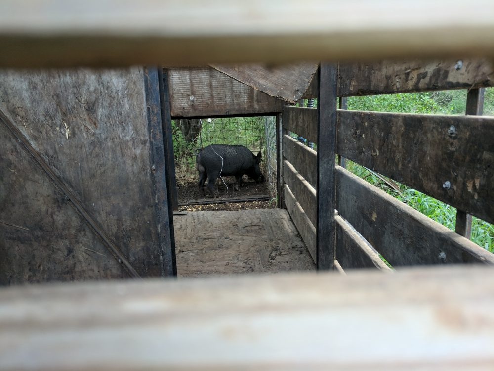 In Texas, feral pigs cause more than $50 million in damage to agriculture each year. (Paul Flahive/Texas Public Radio)