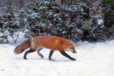 A red fox hunting in the snow. (Courtesy Bill Byrne/MassWildlife)