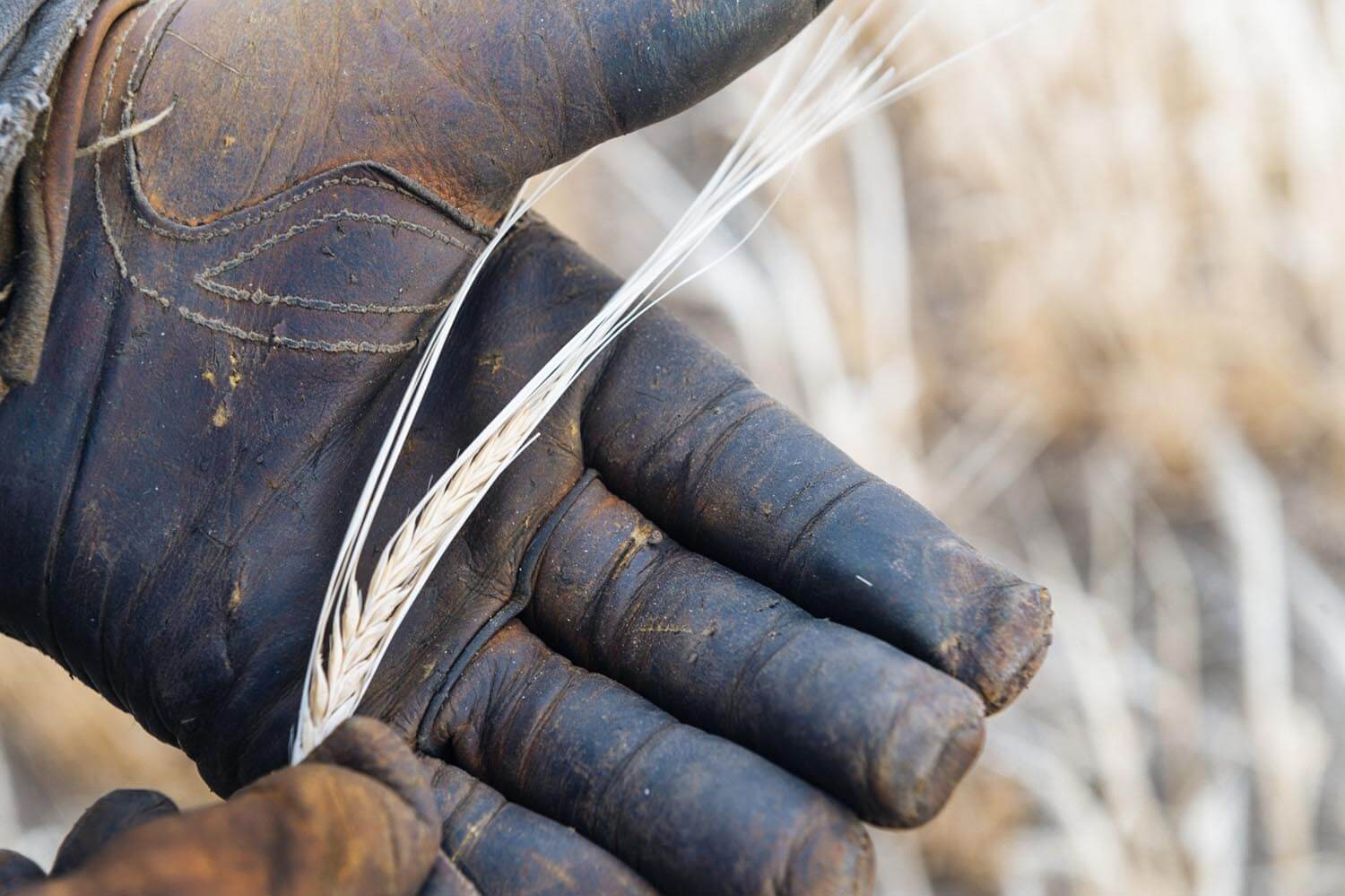 A head of poor-quality malt barley taken directly from a field in Power, Mont. Heat and a lack of water resulted in small and light kernels. Grain rejected for malt barley often ends up as animal feed. (Courtesy Tony Bynum)