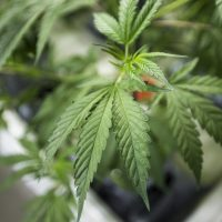 A marijuana plant. (Jesse Costa/WBUR)