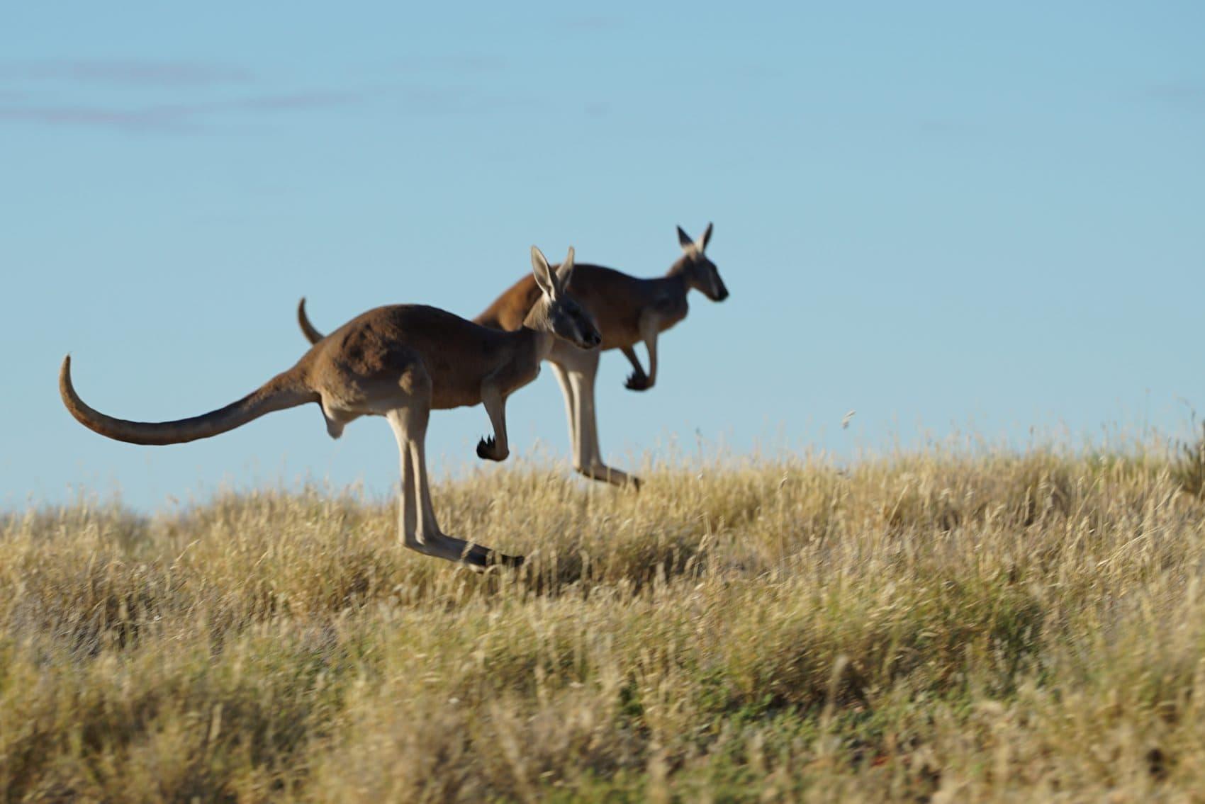 new film kangaroo asks is the australian icon endangered here