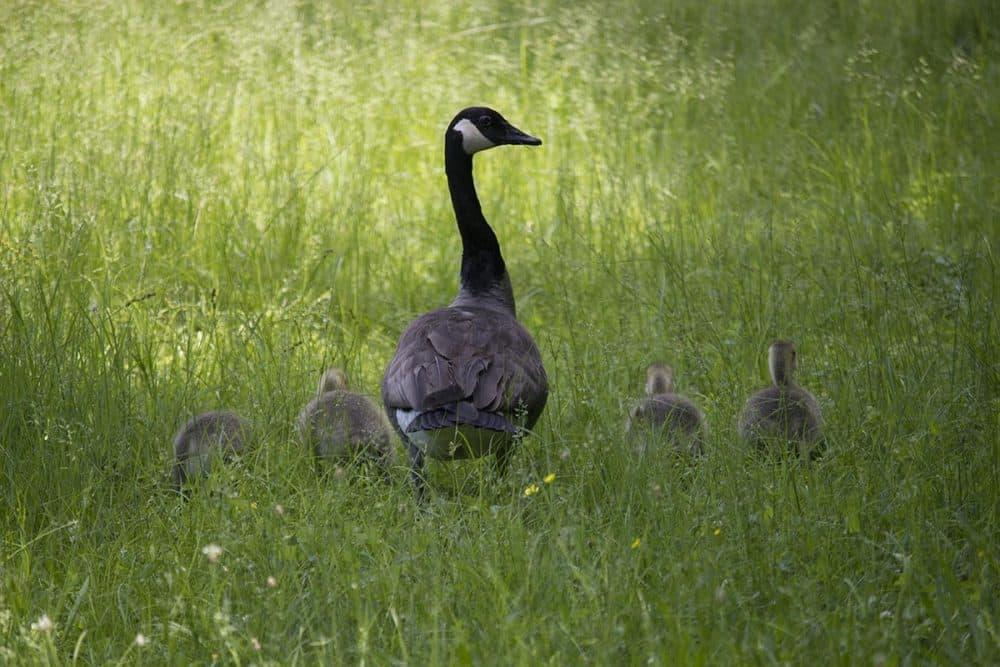 Canada geese. (Brian Amaral/WBUR)