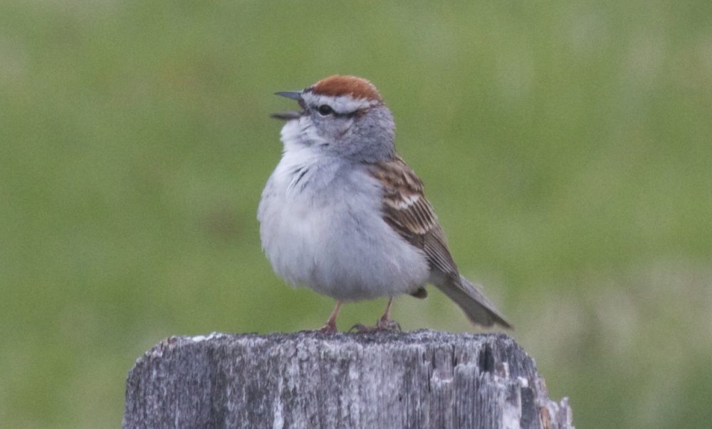 A chipping sparrow sits on a fence post in New Jersey. (Brian Amaral/WBUR)