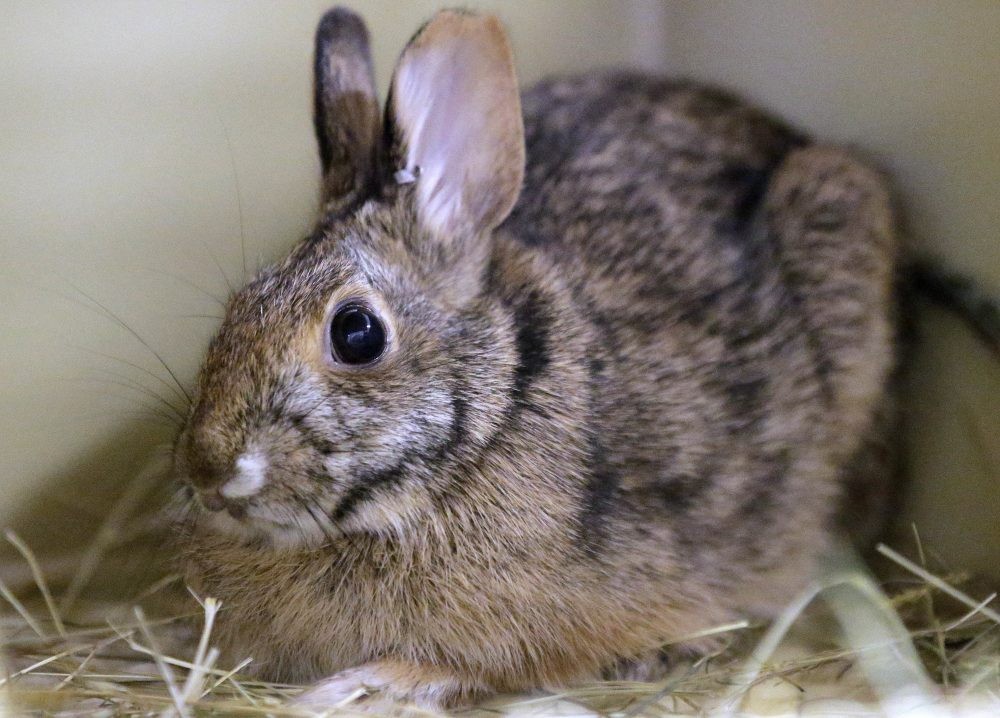 Island Off Martha's Vineyard May Be Used To Boost Rabbit Population