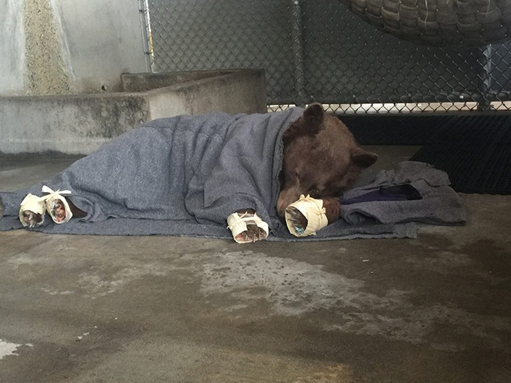 The younger bear rests in her holding enclosure after her treatment is finished. The outer wrapping on her feet (made of corn husks) will delay her efforts to chew off the tilapia skin bandages underneath. (Karin Higgins/UC Davis)