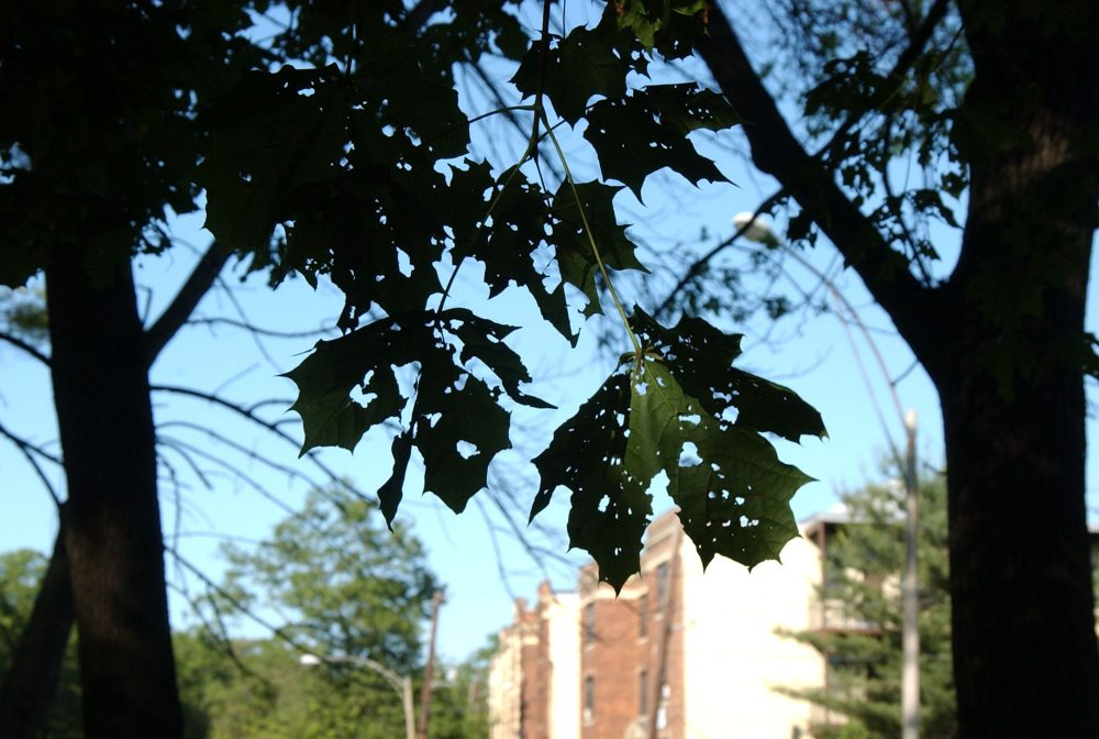 Leaves eaten by moths in the caterpillar stage are seen in Dorchester, Mass., in 2005. (Lisa Poole/AP)