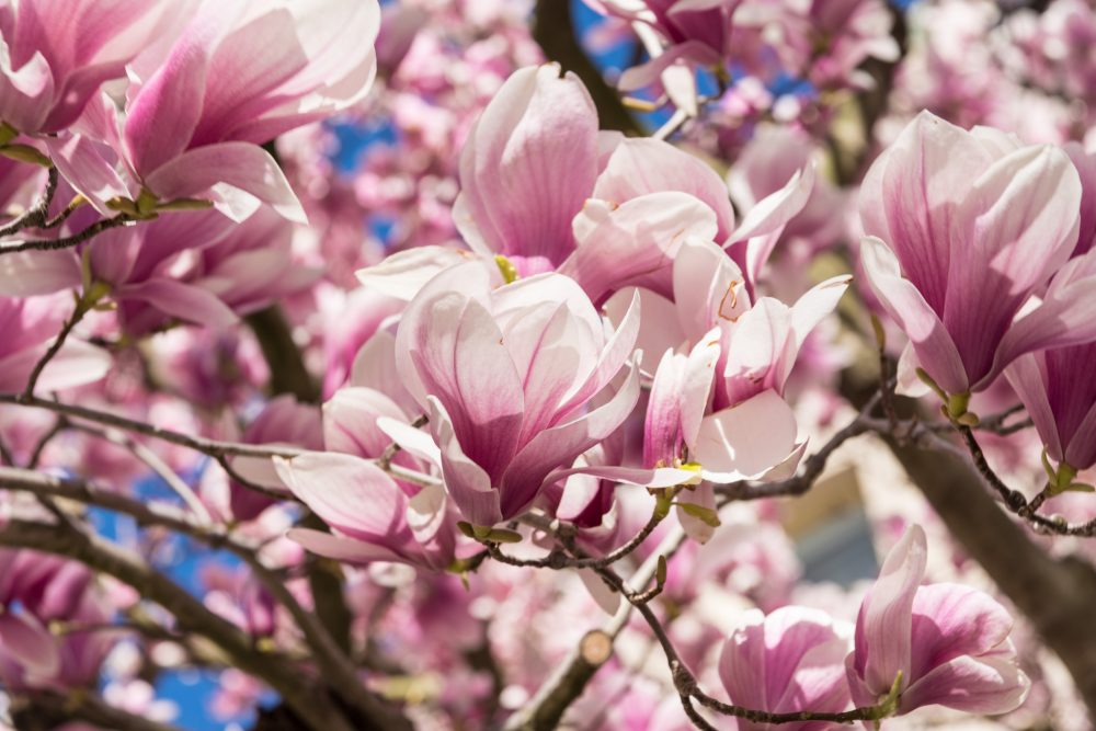 In The Age Of Climate Change Its The Magnolia Blossoms Ill Miss