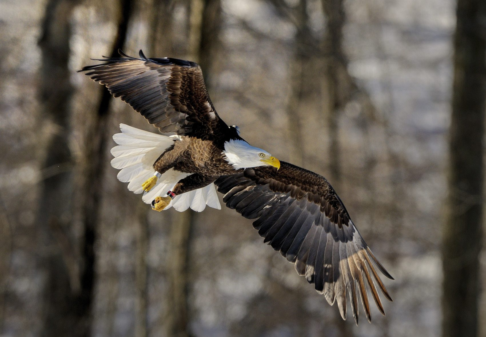 The Bald Eagle Population Is Soaring And Now Is A Really Good Time To See Them Wbur News