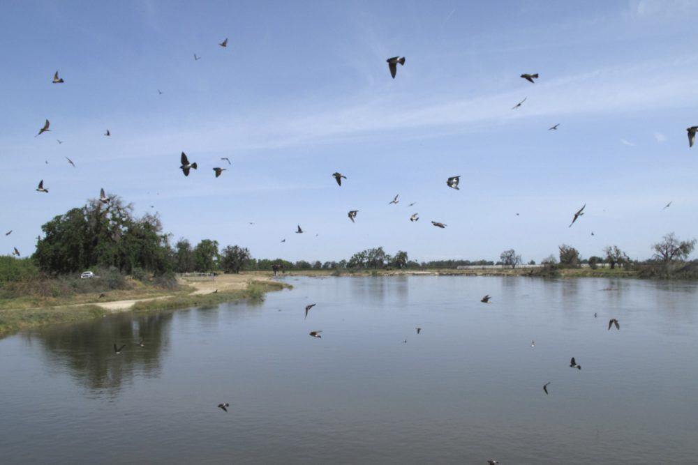 In this photo taken April 10, 2017, birds fly over the Kings River swollen with water from rain and melting snow in the Sierra Nevada near Hanford, Calif. State officials have lifted the drought emergency for much of the state, but drought has yet to loosen its grip on thousands of resident in the San Joaquin Valley where domestic wells have run dry, forcing them to wash and flush toilets with water from tanks next to their homes. (AP Photo/Scott Smith)