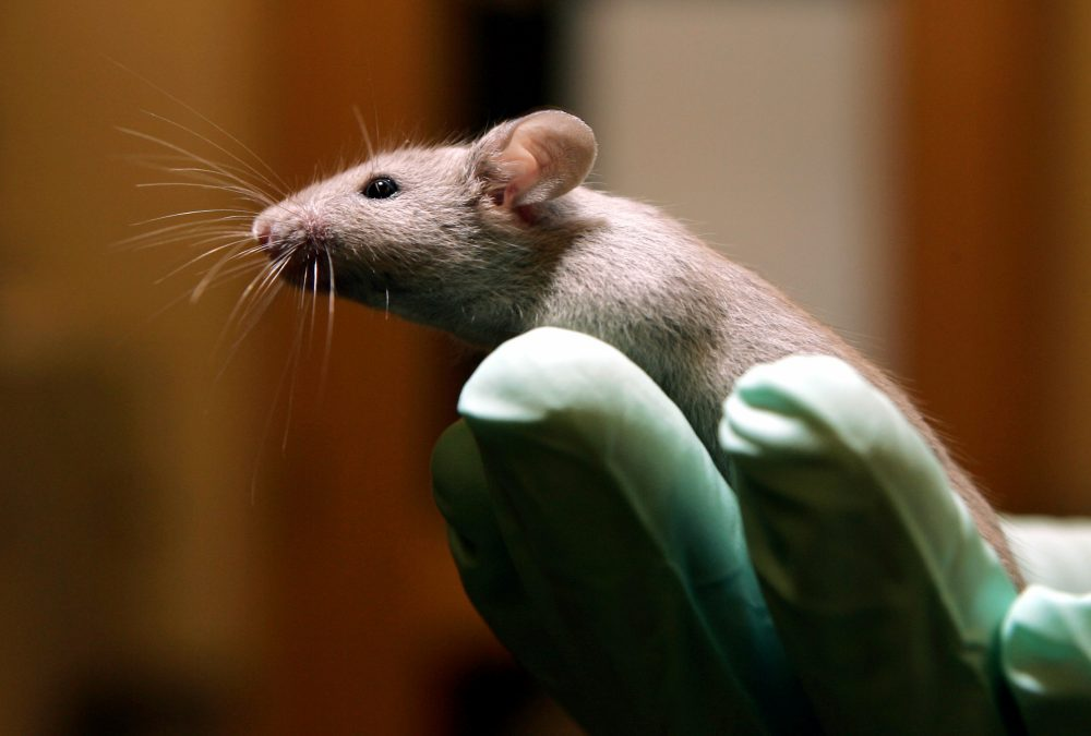 A technician holds a laboratory mouse at the Jackson Laboratory in Bar Harbor, Maine. (Robert F. Bukaty/AP)