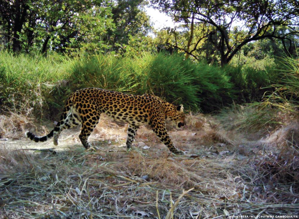(Courtesy Panthera/WildCRU/WWF Cambodia/FA)