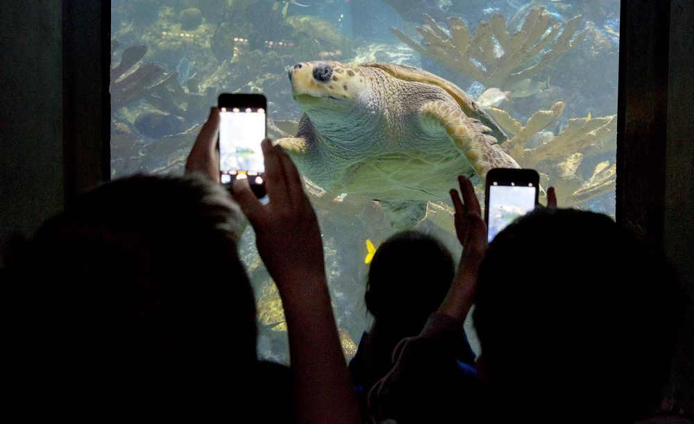 Young visitors to the aquarium use their phones to capture a picture of a loggerhead sea turtle. (Robin Lubbock/WBUR)