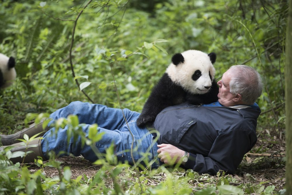 "Ben Kilham with a giant panda at Panda Valley in Dujiangyan, China, as seen in the new IMAX film, ""Pandas."" (Courtesy Drew Fellman)"