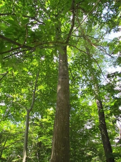 The American chestnut tree in Western Massachusetts that forester Larry Bruffee discovered.