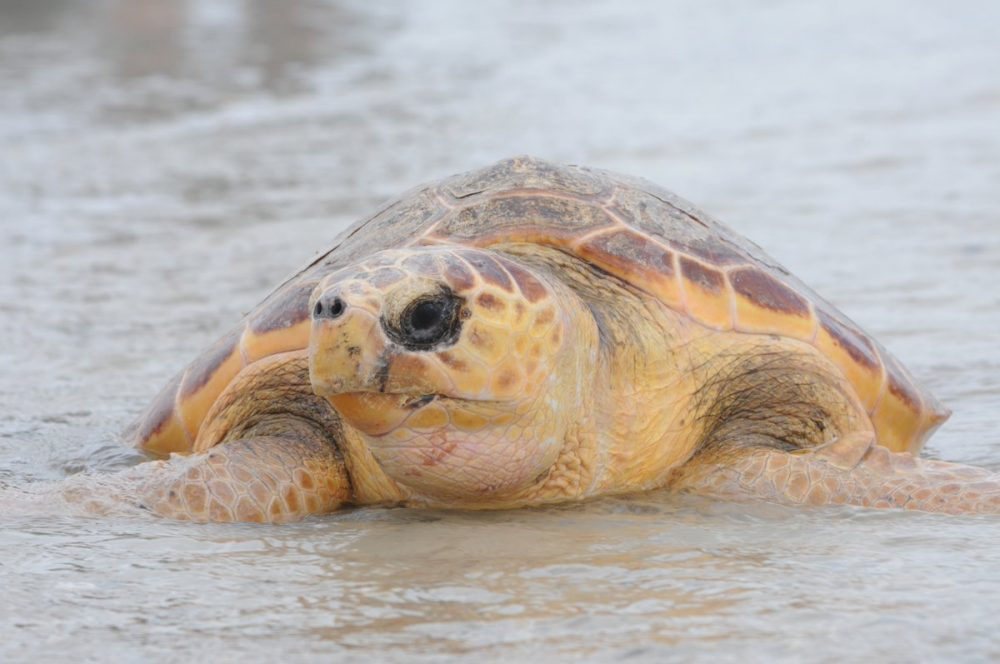New England Aquarium biologists released 10 large loggerheads, including the one pictured here, and four Kemp's ridley sea turtles. (Courtesy New England Aquarium)