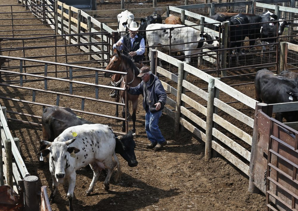 Cattle are herded into a sale arena at the Oklahoma National Stockyards in Oklahoma City, Tuesday, April 24, 2018. (Sue Ogrocki/AP)