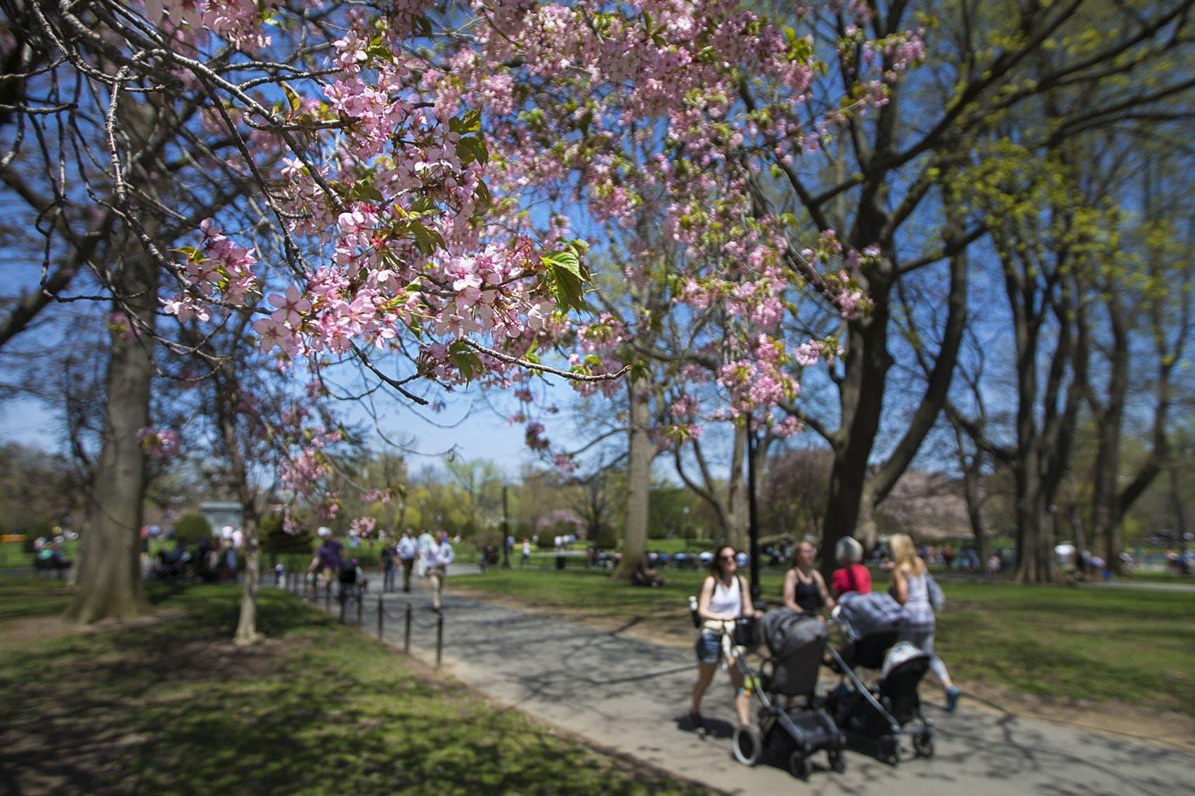 Trees were in bloom in the Boston Public Garden on Wednesday. (Jesse Costa/WBUR)