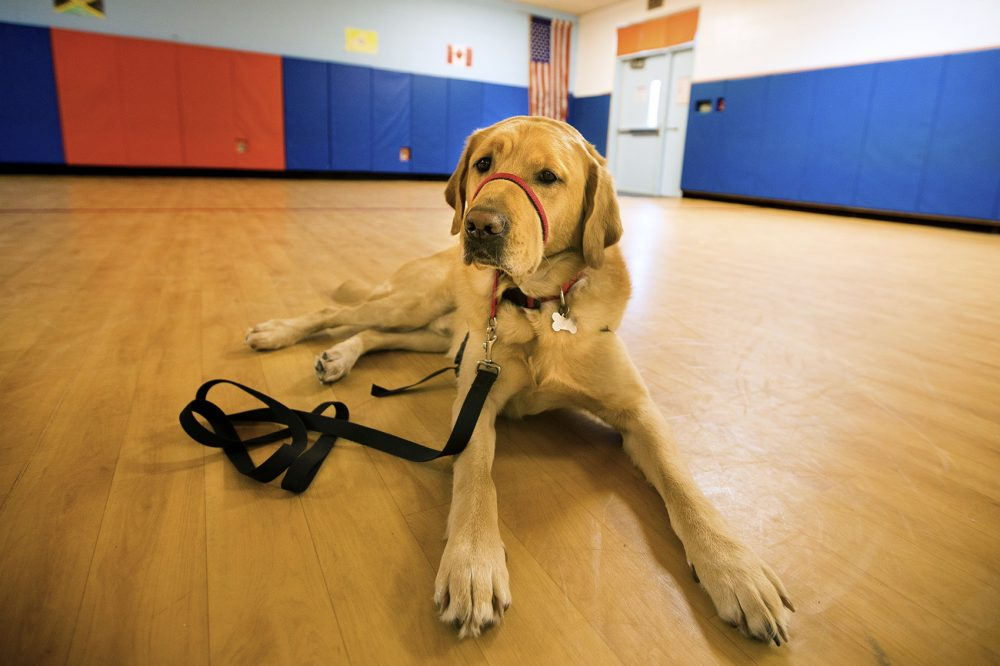 Franklin the service dog has become a beloved fixture at the Ralph Wheelock School in Medfield. (Jesse Costa/WBUR)