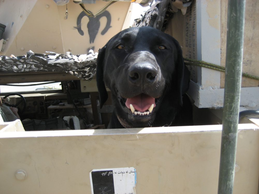 Jag, a Labrador retriever pictured here in Afghanistan, served with the U.S. Army for seven years and was a critical K-9 component in hundreds of missions protecting his fellow soldiers. (Courtesy American Humane)