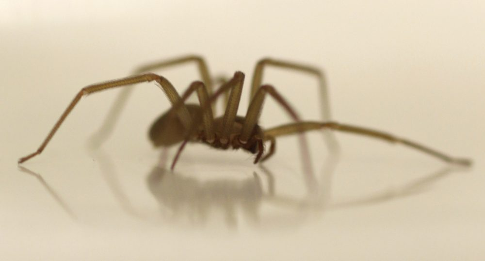 "Brown recluses, like the one pictured here, ""are definitely a serious medical spider, but their bites are fairly rare,"" North Carolina State University entomologist Matt Bertone says. (Carolyn Kaster/AP)"