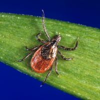 In this undated photo provided by the U.S. Centers for Disease Control and Prevention (CDC), a blacklegged tick - also known as a deer tick. (CDC via AP)