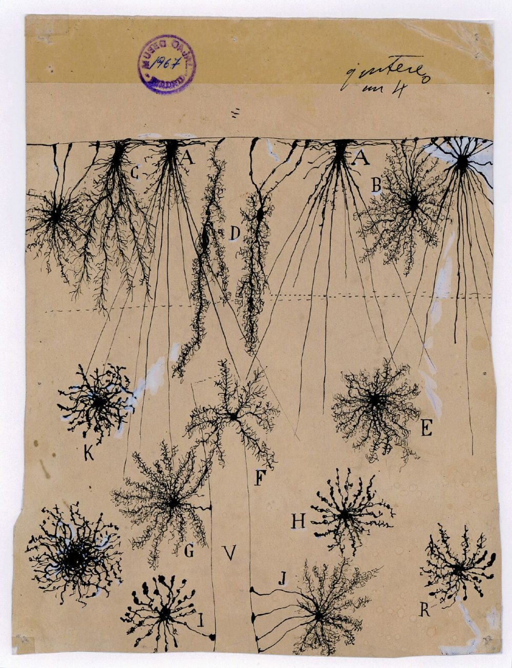 Santiago Ramón y Cajal's ink and pencil drawing of glial cells of the cerebral cortex of a child, created in 1904. (Courtesy of Instituto Cajal)