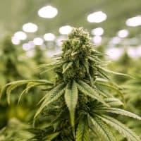 A budding mature marijuana plant (Jesse Costa/WBUR)