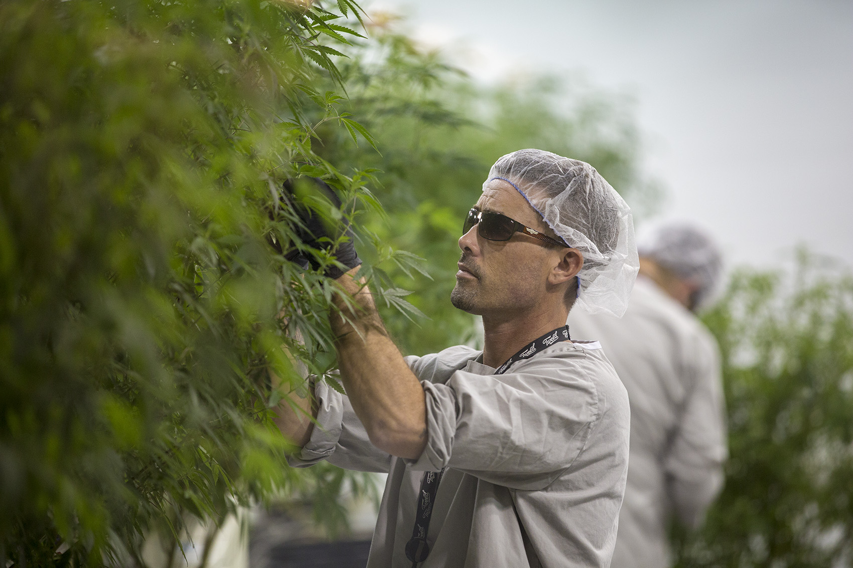 A Canopy worker takes clippings off a marijuana plant to be cloned. (Jesse Costa/WBUR)