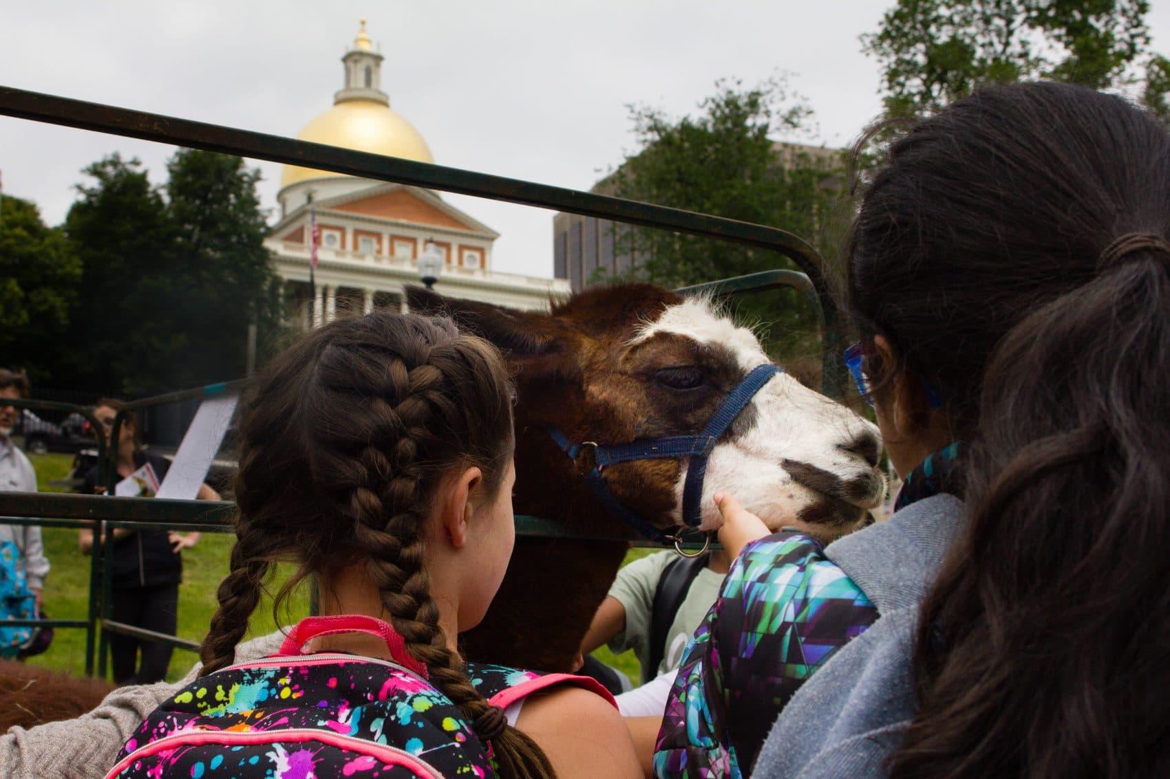 "Tina the llama enjoys getting her chin scratched during the sixth annual Mass. Farm Bureau ""Livestock on the Common."" (Elizabeth Gillis/WBUR)"