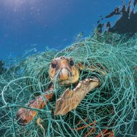 """An old plastic fishing net snares a loggerhead turtle in the Mediterranean off Spain. The turtle could stretch its neck above water to breathe but would have died had the photographer not freed it.""""Ghost fishing"""" by derelict gear is a big threat to sea turtles. (Courtesy Jordi Chias/National Geographic)"""