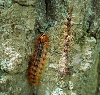 A healthy gypsy moth caterpillar, left, next to one killed by a fungus that attacks the insects (Courtesy Tawny Simisky)