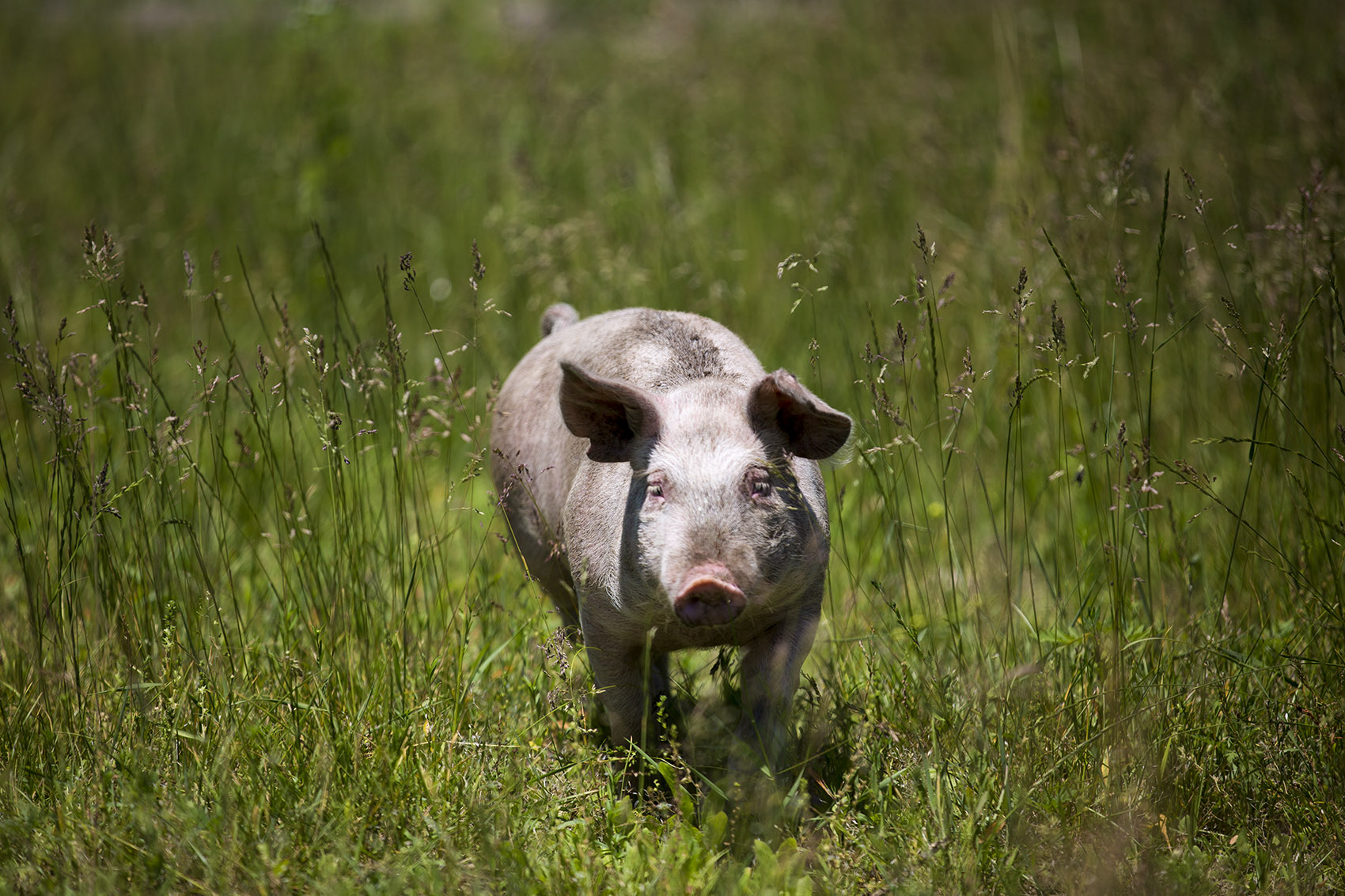 One of Copicut Farms pigs roaming around freely through the pasture. (Jesse Costa/WBUR)
