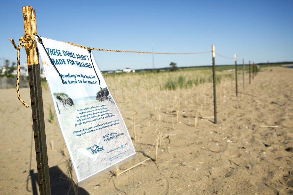 An area of recently planted beach grass on Plum Island is roped off for its protection. (Robin Lubbock/WBUR)