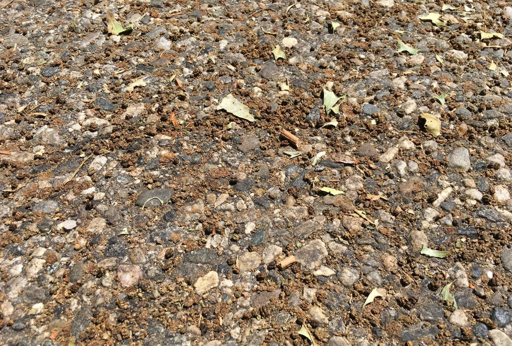Gypsy moth caterpillar excrement -- and bits of chewed-up oak leaves -- on the street under a row of infested oak trees (Lynn Jolicoeur/WBUR)