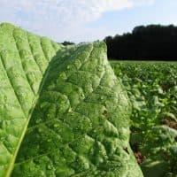 Early morning dew glistens on a tobacco leaf in a field outside Rolesville, N.C. (Allen G. Breed/AP)